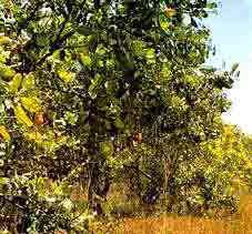 cashewtree.gif (19763 bytes)