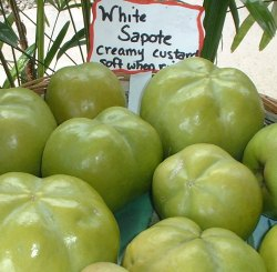 white sapote is creamy and luscious like nothing you have ever tasted its relatives are the chico sapote that tastes like brown sugar the mamey sapote